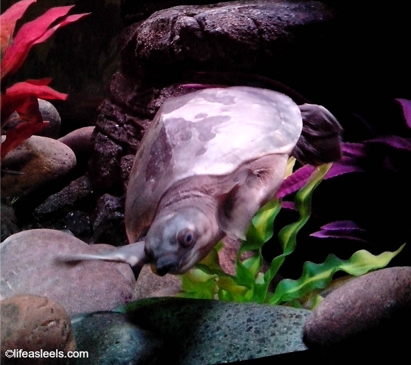@SeaLifeAZ has a turtle shelter for 2014!